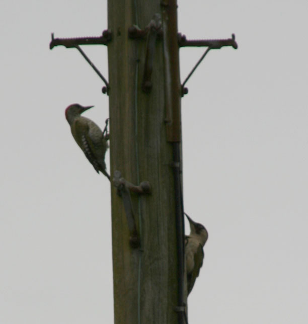 Green woodpeckers on a telegraph pole
